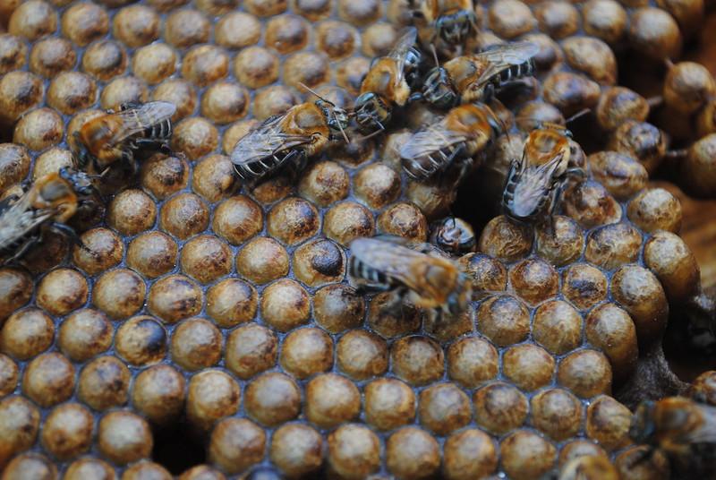 abeille mélipone