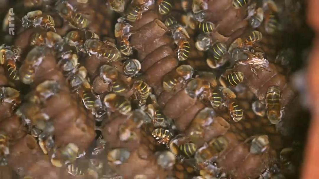 essaim abeilles melipones