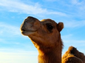Stephen is one of the four year old camels in the herd. He stands tall and proud against a pale blue sky as if he's posing for the picture. Photo by Teri Nehrenz.