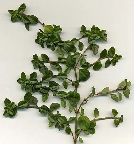 Thymus_vulgaris