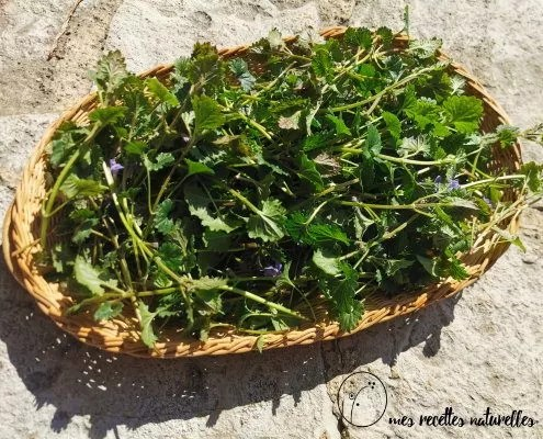 cueillette de plantes medicinales