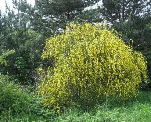 Un buisson de Genêt à balais