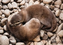Otters in Love