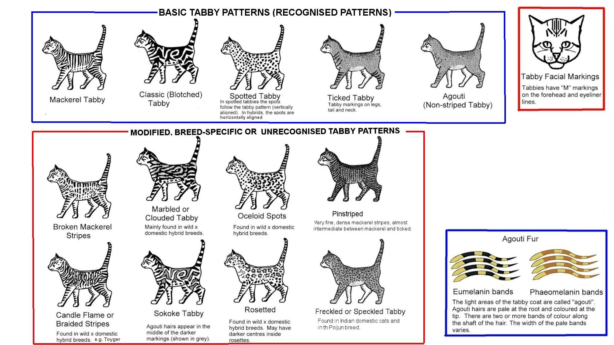 Tabby Patterns and Colors (Cats) | Meow Barkers