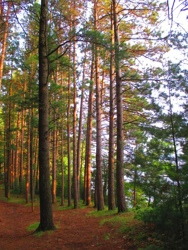 """Tall trees near Trout Lake"" photo by Julia Walsh FSPA"
