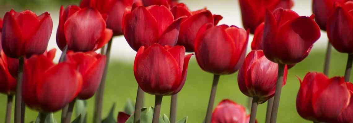 L'histoire de la tulipe