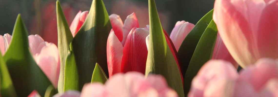Charles de l'Écluse – Inventeur de la tulipe