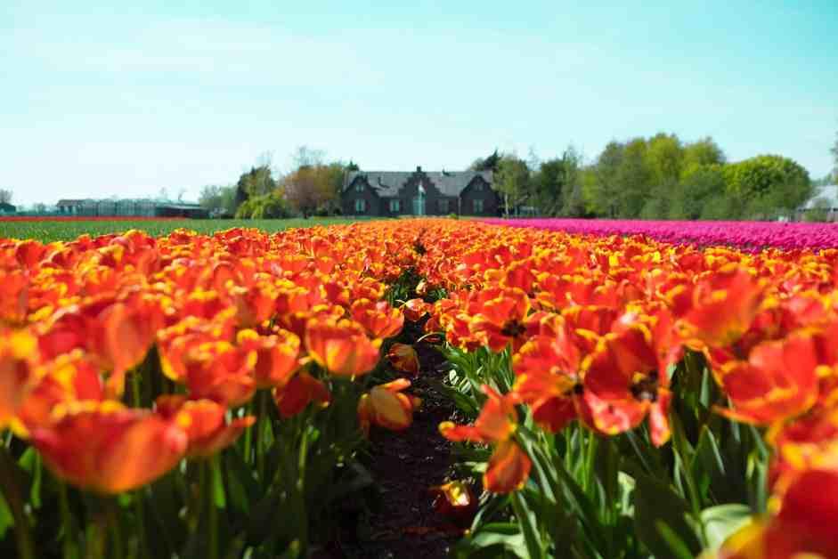 Champs de Tulipes à Lisse