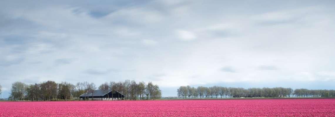 Les meilleurs endroits pour admirer des champs de Tulipes en Hollande