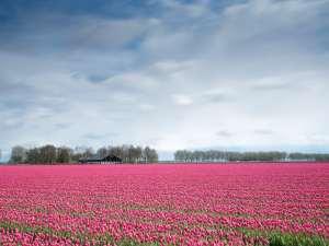 Un champ de tulipes roses en Hollande