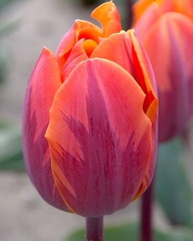 Tulipe Princesse Irene