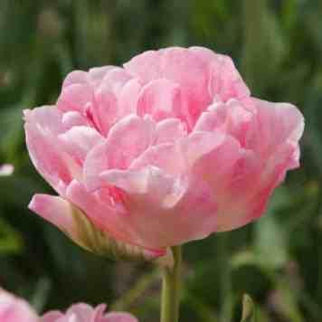 Tulipe Double - Nos tulipes doubles à fleurs de pivoine pour le jardin