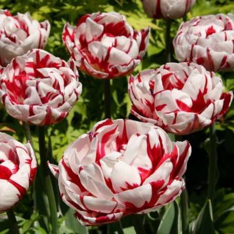 Tulipe Carnaval de Nice