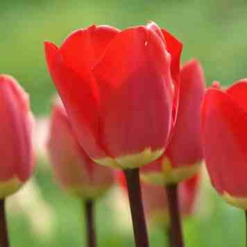 Achat de bulbes tulipe fostery king