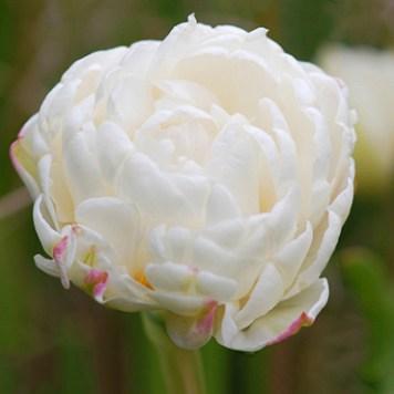 Tulipe double Mount Tacoma - Bulbes en ligne