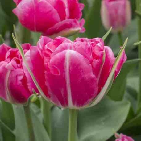 Magnifique fleur de Tulipe Pink Parfait