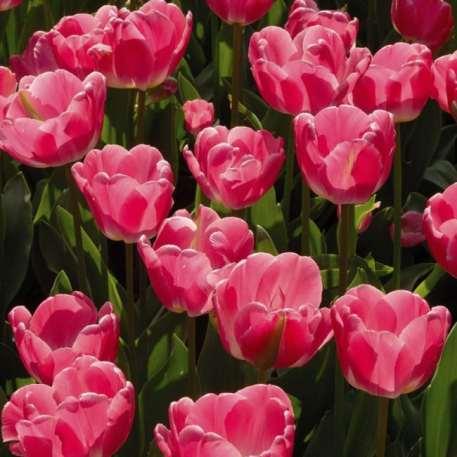 Tulipe Sauternes