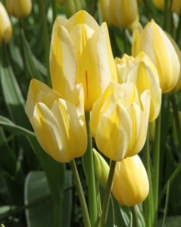 Tulipe Antoinette - Achat/Vente bulbe