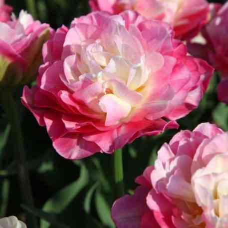 Tulipe Double Sugar