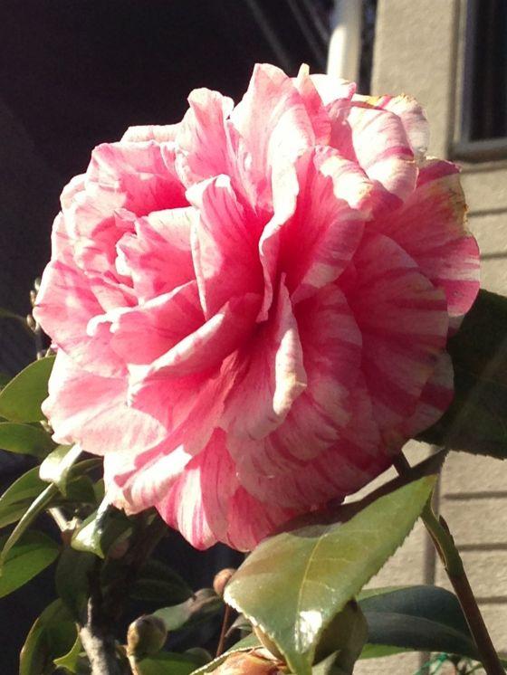 aniceflower