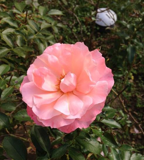 Roses DA