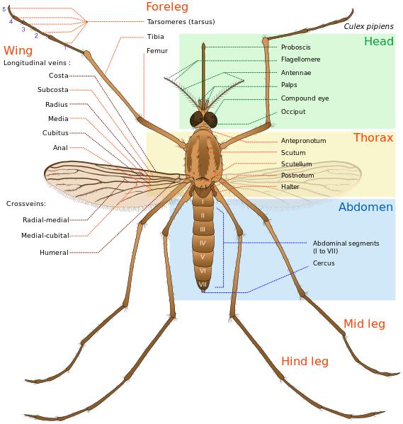 569px-Culex_pipiens_diagram_en.svg