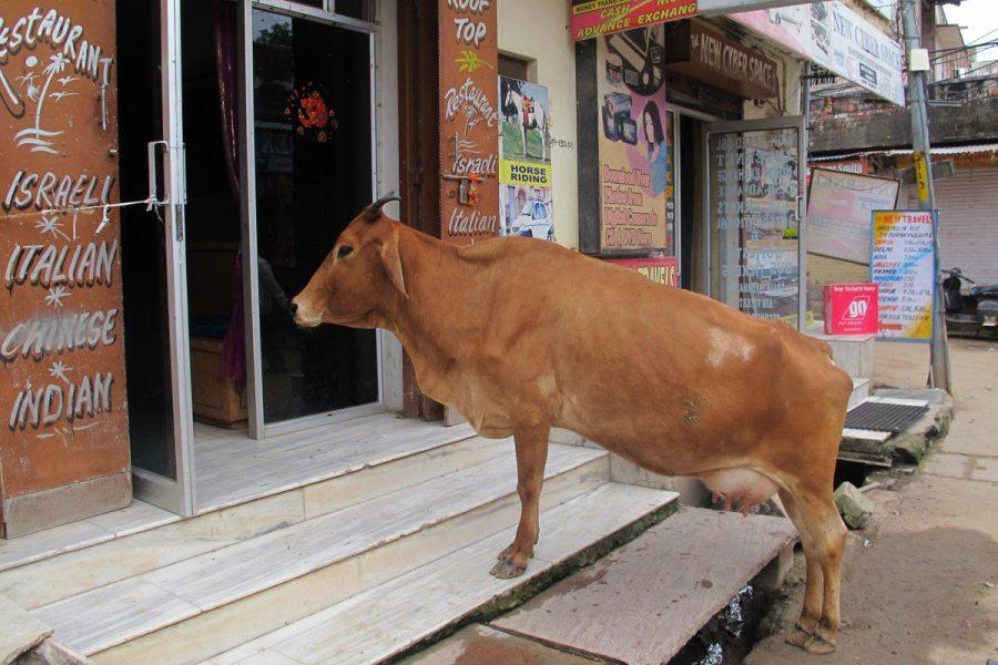 vaches sacrées en Inde