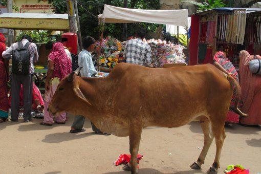 vaches sacrées indiennes