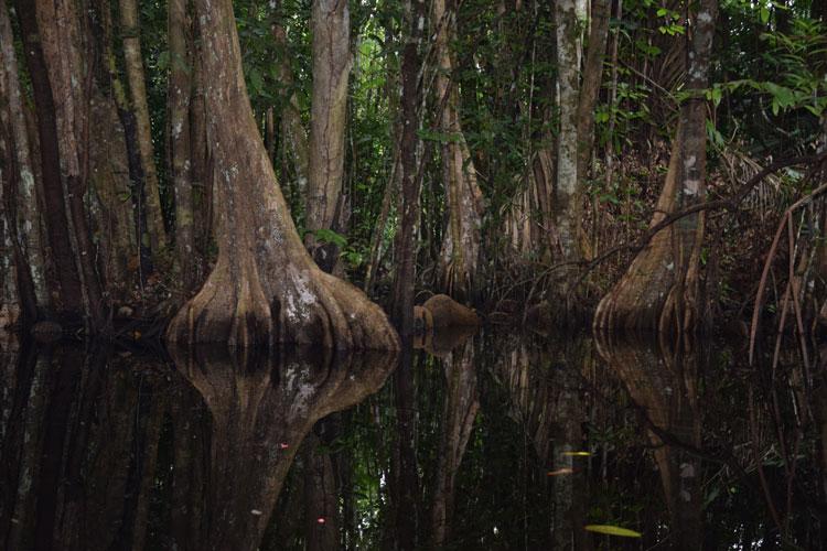 orenoque-mangrove