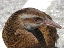 Entre Pukekura et Nelson, oiseau, Râle weka