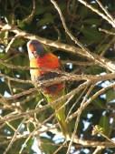 Melbourne - Animaux - Perroquet