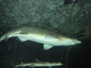 Sydney - Aquarium, requin