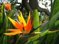Sydney - Jardin botanique - Fleurs, oiseau du paradis