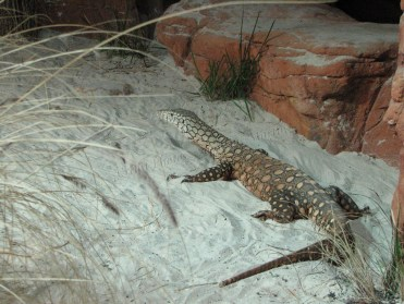 Sydney - Wildlife, famille des lézards