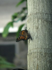 Sydney - Wildlife, papillon