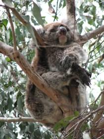 Kangaroo island - Flinders chase - National Park, koala