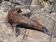 Kangaroo island - Flinders chase - National Park, otaries