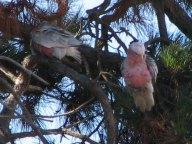 Kangaroo island - Kaiwarra - Cacatoes rosalbin