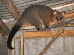 Kangaroo island - Kaiwarra - Opposum