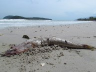 Ile Langkawi - Pantai Cenang - Plage, poisson mort