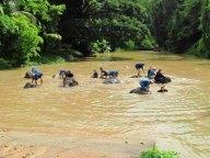 Lampang - Centre de conservation des éléphants - Baignade des éléphants