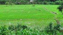 Mae Hong Son environs- Sur la route, champs de riz