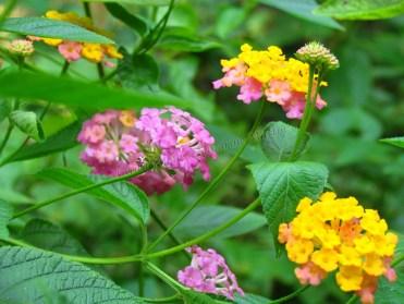 Muang Ngoi Neua - Grotte 'Tham Kang', fleurs