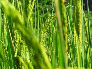 Parc national Nam Ha - Journée rando, champs de 'steam rice'