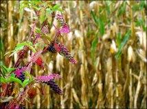 Landes - Ousse-Suzan - Champs de maïs