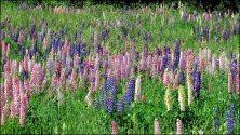 Pyrénées-Orientales - Les Angles - Fleurs