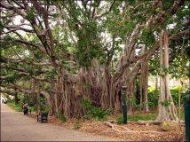 Brisbane - Jardin botanique, arbre 'banian'