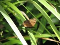 Cairns - Jardin botanique, papillon