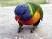Sur la route entre Makay et Rockampton, perroquet