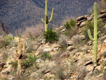 Arizona - Tucson - Sabino Canyon, cactus